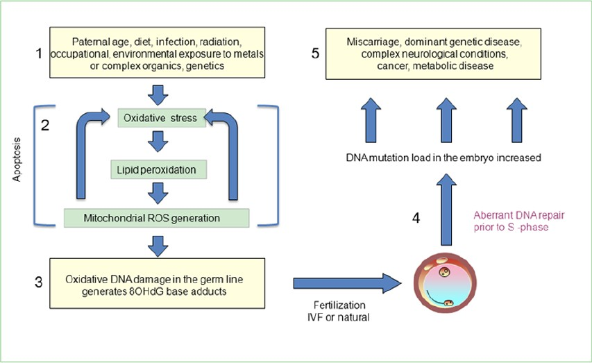 Figure 1: Proposed cycle of cause and effect by which oxidative stress in the male germ line impacts upon the health and well-being of future generations. (1) A variety of primary factors can initiate oxidative stress in the male germ line including infection, age, obesity and exposure to a variety of adverse environmental influences. (2) This initial oxidative stress induces lipid peroxidation culminating in the production of lipid aldehydes such as 4HNE, which bind to proteins in the mitochondrial electron transport chain, stimulating the generation of reactive oxygen species (ROS). The latter stimulate yet more lipid peroxidation in a self-propagating cycle that culminates in apoptosis. (3) One of the most sensitive targets of oxidative stress is the DNA in the sperm nucleus, generating 8-hydroxy, 2'deoxyguanosine (8OHdG) base adducts. (4) The fi rst enzyme in the base excision repair pathway, 8-oxoguanine glycosylase 1 (OGG1), is present in spermatozoa and its activity creates abasic sites. The remainder of the DNA repair pathway is present in the oocyte. The oocyte has to repair the DNA damage brought into the zygote by the fertilizing spermatozoon before the initiation of S-phase for the fi rst mitotic division. (5) If the oocyte makes a mistake at this stage of DNA repair, it has the potential to create a mutation that will be represented in every cell in the body and could account for the range of pathologies seen in the offspring of fathers exhibiting high levels of oxidative DNA damage in their spermatozoa. Abbreviations: IVF, <i>in vitro</i> fertilization; ROS, reactive oxygen species.