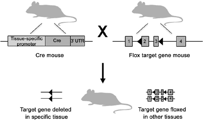 Figure 2: Generation of tissue/cell-specific knockout mice using the Cre-loxP system. In the Cre mouse line, the expression of Cre is under the control of a tissue/cell-specific promoter. The floxed target gene mouse line contains loxP sites (◀) flanking the region of the target gene to be deleted. When the two mouse lines are bred together, the Cre enzyme recognizes the loxP sites and deletes the intervening DNA sequence only in tissues/cells where the Cre is expressed. The target gene remains floxed and theoretically functional, in all other tissues.