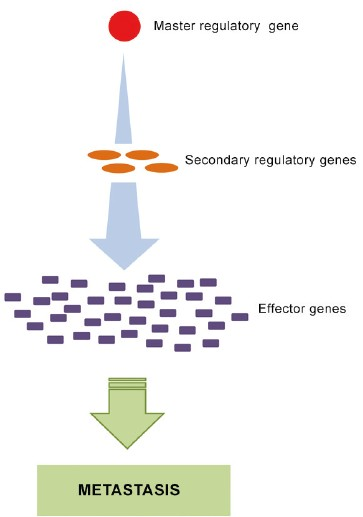 Figure 1: Metastasis is thought to result from changes in the expression of specific master regulatory genes (e.g. upregulation) that lead to activation of cascades of downstream genes that set the metastatic process in motion.
