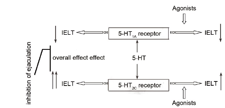 Figure 4: 5-HT pathway regulating ejaculation. IELT: intravaginal ejaculation latency time; 5-HT: 5-hydroxytryptamine
