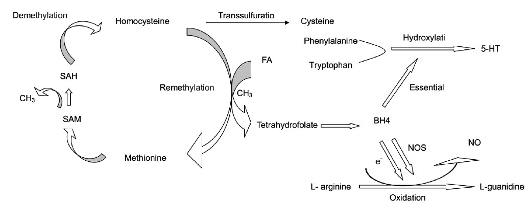 Figure 5: The metabolic pathways and relationships between FA and homocysteine, 5-HT, and NO. BH4: tetrahydrobiopterin; CH3: methyl; 5-HT: 5-hydroxytryptamine; FA: folic acid; NO: nitric oxide; NOS: NO synthase; SAH: S-adenosylhomocysteine; SAM: S-adenosylmethionine.