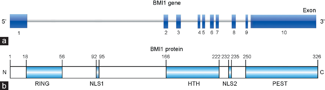 Figure 1: Gene and protein structure of human BMI1. (<b>a</b>) BMI1 gene consists of 10 exons and 9 introns. (<b>b</b>) BMI1 protein starts from N-terminal RING domain required for interaction with RING1A/B, two NLS domains, HTH domain required for BMI1 localization at DNA damage site, to C-terminal PEST which is critical for BMI1 turnover. BMI1: B lymphoma Moloney murine leukemia virus insertion region 1; NLS: nuclear localization signal; HTH: helix-turn-helix; PEST: proline-glutamic acid-serine-threonine.